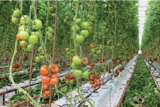 winTutor®IRIS pomodori